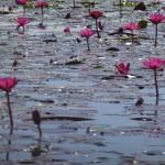 lotus 0