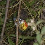 et pourquoi papillon?